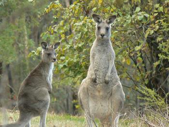 kangaroo2.jpg